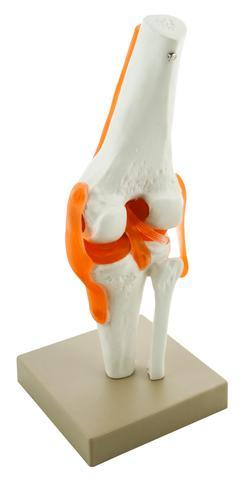 MODEL HUMAN KNEE JOINT