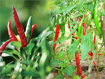 Chili Peppers Plant