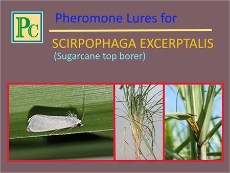 Scirpophaga Excerptalis Pheromone Lures