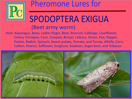 Pheromone Lures for Spodoptera Exigua