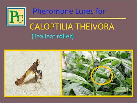 Caloptilia Theivora Pheromone Lures