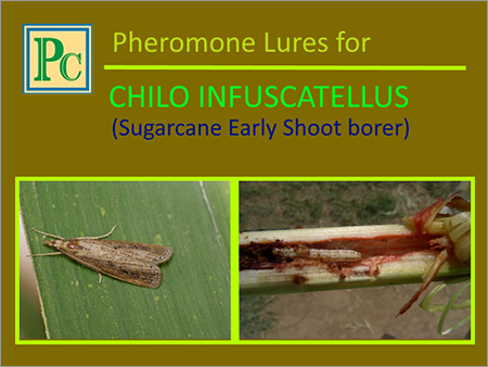 Chilo Infuscatellus Pheromone Lures