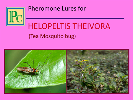Pheromone Lures for Helopeltis Theivora