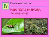 Pheromone Lures for Helopeltis Theivora