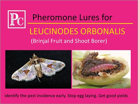 Pheromone Lures for Leucinodes Orbonalis