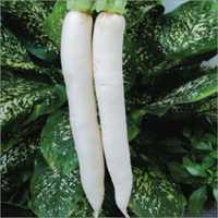 Radish Ivory White