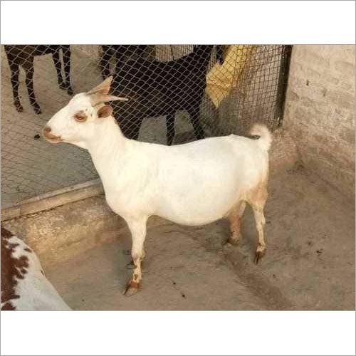 Male Barbari Goat