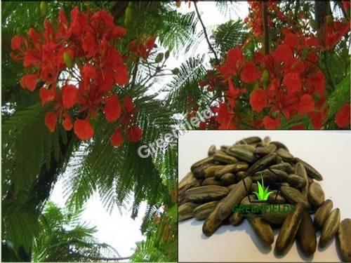 Gulmohar Seeds Delonix Regia
