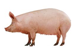 Live Pork
