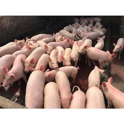 Pig Farming Consultancy