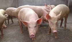 Male Pig For Breeding