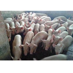Boar Farm Piglets