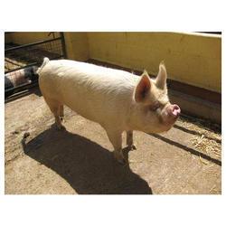 Yorkshire Pig