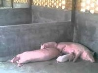Sow & Boar For Breeding