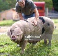 Breeding Pig