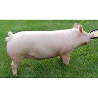 约克夏繁殖的猪