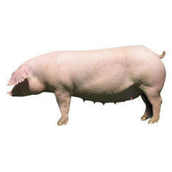 Female Landrace Breeding Pigs