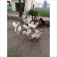 Barbari Goat Farming Training Service