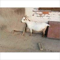Bari Goat Farming