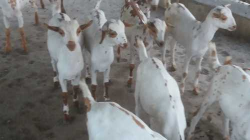 Barbari Goat Training Services