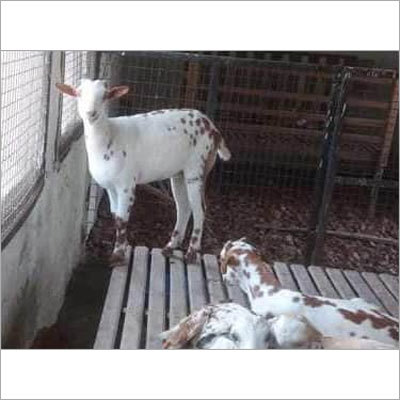 种田咨询学校的山羊