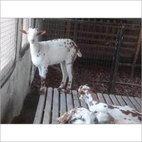 Products - RAGHAV BARBARI AND BEETAL GOAT BREEDING FARM