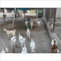 Goat Breed Consultancy