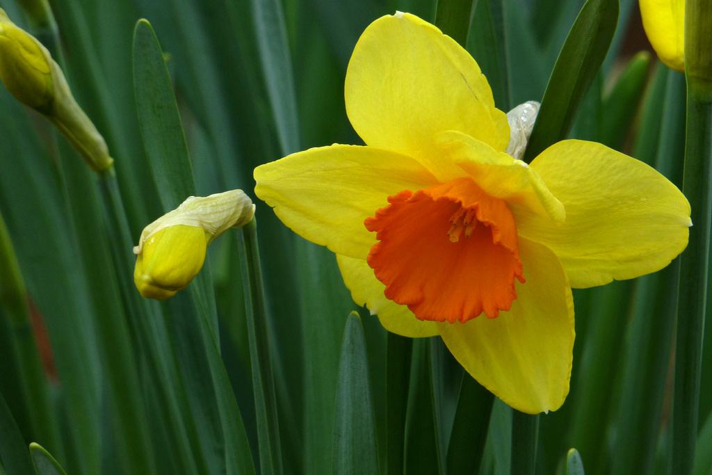 Narcissus Attar