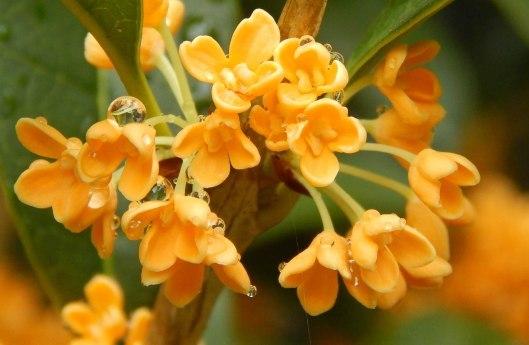 Osmanthus Attar