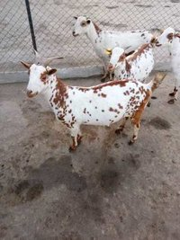 Red Spots Barbari Goat