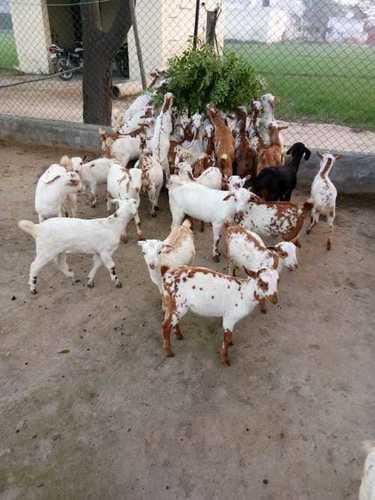 Pure Barbari Breed Goat