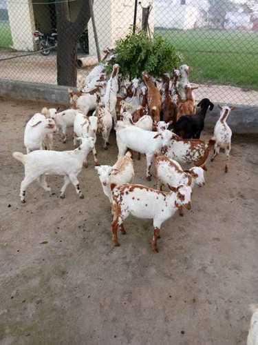 纯净的Barbari养殖山羊