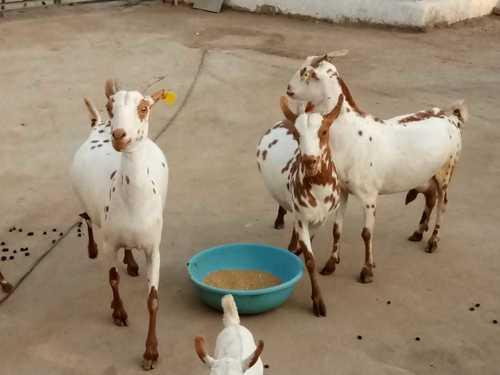 Sai Bari Goat