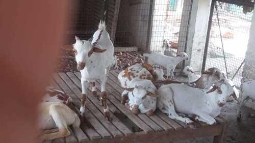 Vaccinated Barbari Goat