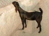 Goat Farming Training Services in Karnal,Haryana,India