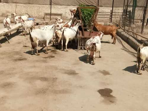 Pure Barbari Goat Breed