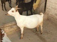 Barbari Goat Breed Farm Development Consultancy