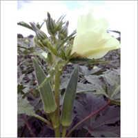 Okra Hybrid Seeds