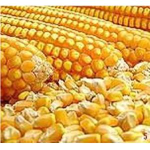 Maize Hybrid Seeds