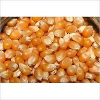 Dried Maize Seeds