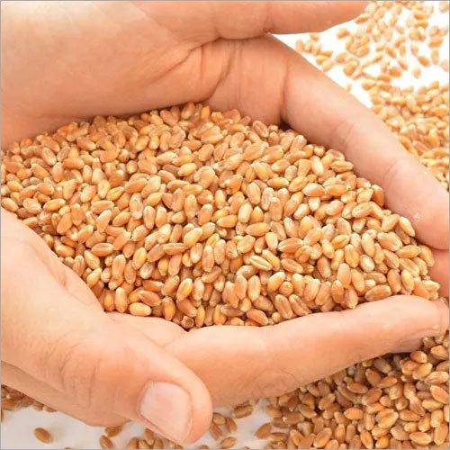 Pure Wheat Grains