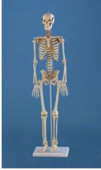 MINIATURE SKELETON