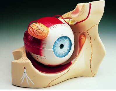 HUMAN EYE ON BONY BASE WITH MUSCLES