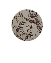 Flagellae (1000x)