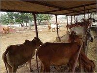 Indigenous Sahiwal Cow