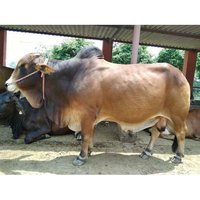 Pure Sahiwal Bull