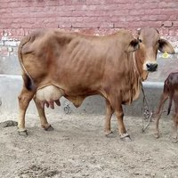 Sahiwal Cow in Haryana