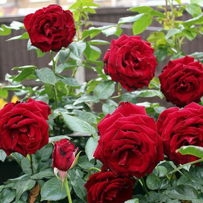 Ooty Rose