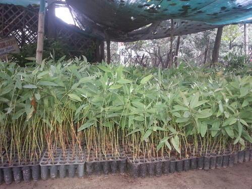 Clone Eucalyptus