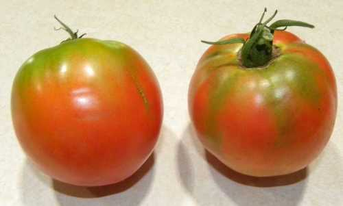 Tomato - F1 Orion Seeds